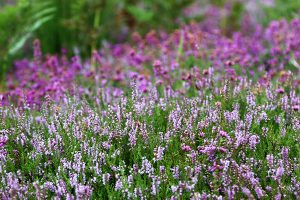 flowers and flower seed mixes